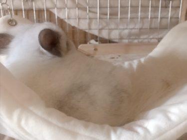 【お迎え71日目】初!チンチラ用ハンモックで昼寝する姿が可愛い。
